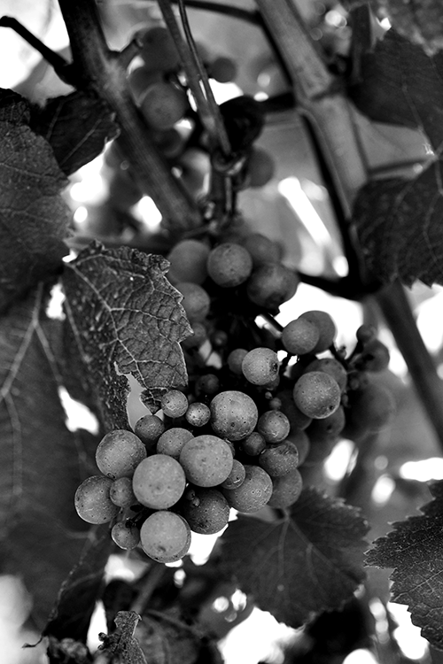 Through the Grapevine© by Haalo