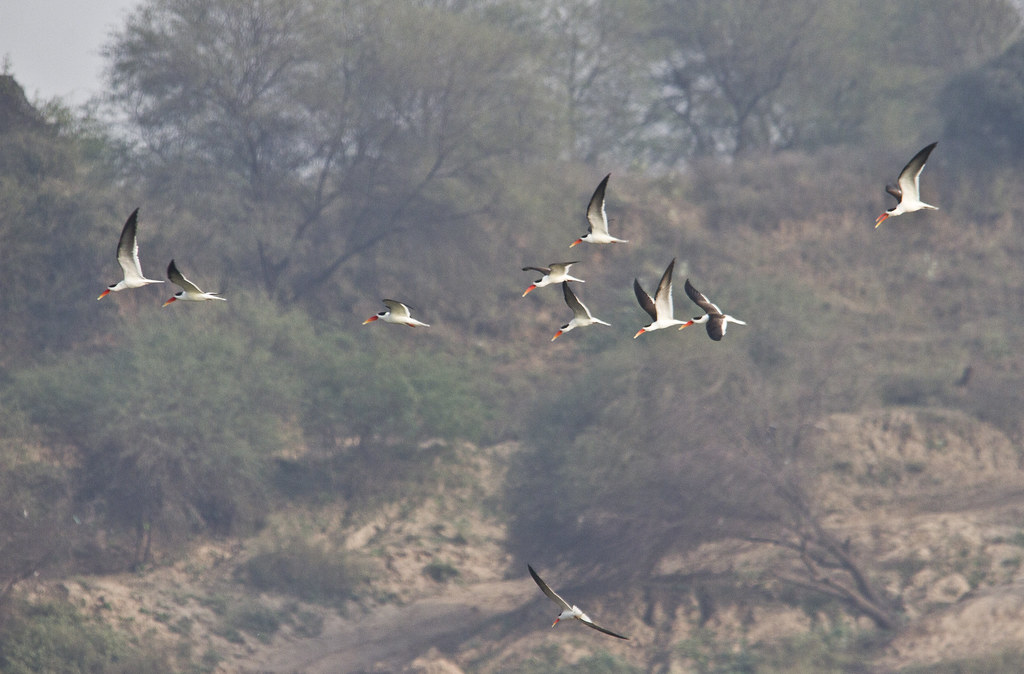 skimmers_flying_across_landscape_crop