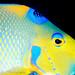 Queen Angelfish 3 by tamsin.eyles