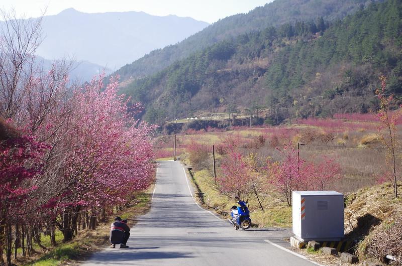專屬KIT的武陵農場櫻花??