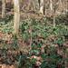 Trillium decipiens (Deceiving Trillium or Chattahoochee River Wake Robin) habitat shot by jimf_29605