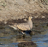 Yellow-Throated Sandgrouse 11-23-13 7578.jpg-2