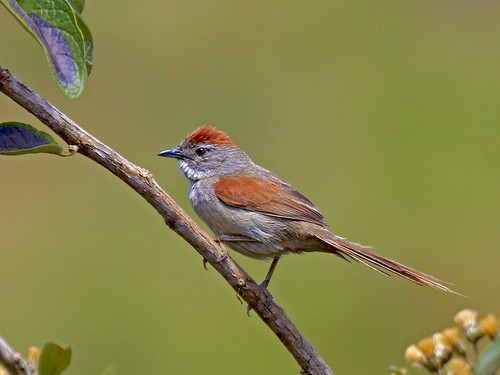 Uí-pi - Pale-breasted Spinetail (Synallaxis albescens)