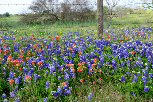 nikon texas wildflowers hillcountry bluebonnets chappellhill texaswildflowers indianpaintbrushes d800e