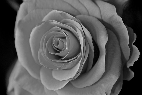 Black and White Rose In The Evening