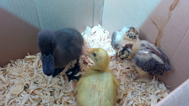 Ducks & Chicks