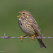 Corn Bunting by David Newby | IMAGES 2014