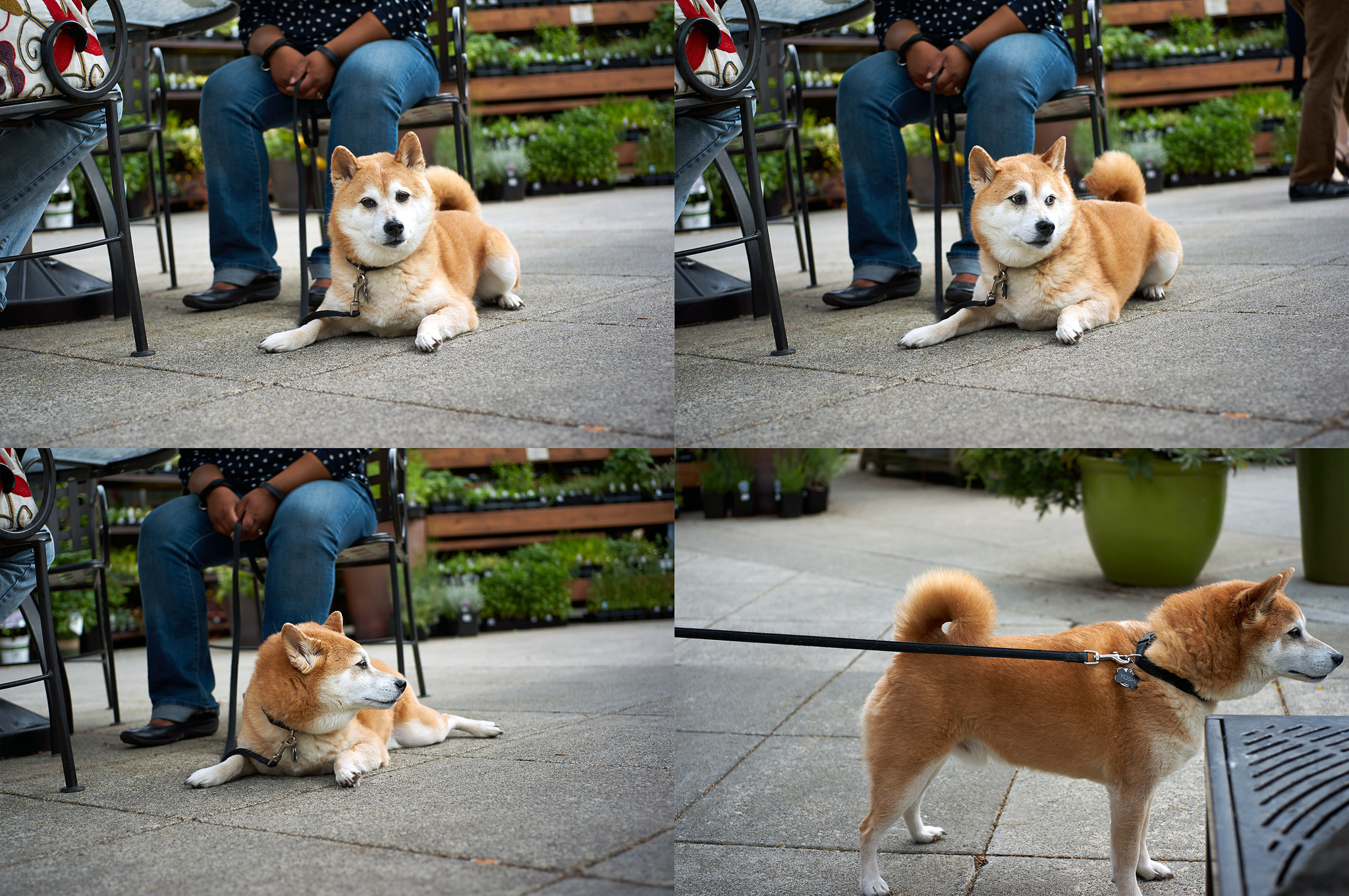 可愛的柴犬