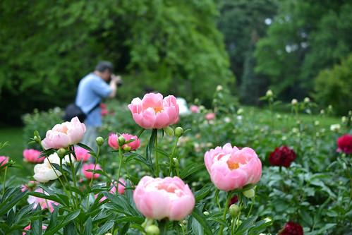 Herbaceous Peonies