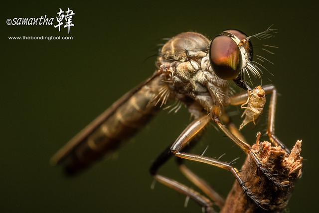 Macro Robber Fly_6806