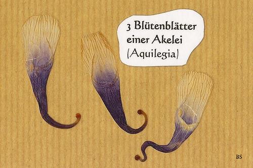 Blütenblätter einer Akelei Aquilegia Mannheim Natur Kurpfalz Pflanze Wildpflanze blühen Blüte Foto Brigitte Stolle