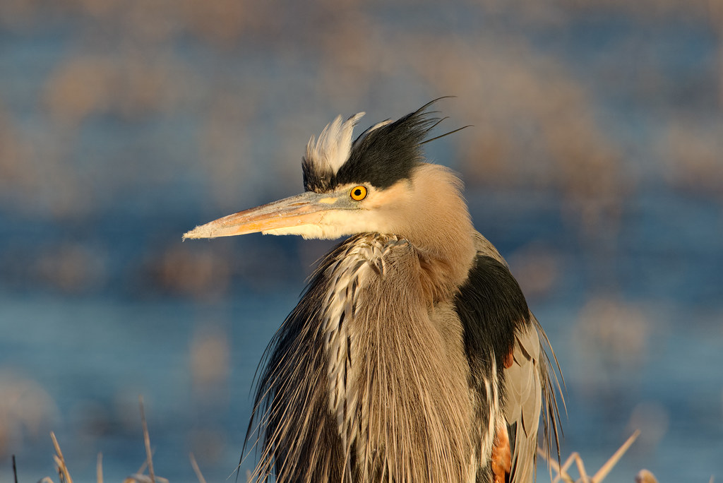 Feathers stick up on the top of the head of a great blue heron