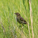 Small photo of Saltmarsh Sparrow ( Ammodramus caudacutus) -- Marine Park
