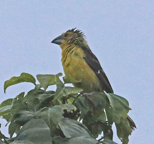 170301 2017 cardinalidae ecuador goldenbelliedgrosbeak grosbeak passeriformes picogrueso picogruesoventrimarillo southernyellowgrosbeak vilcabamba bird passerine