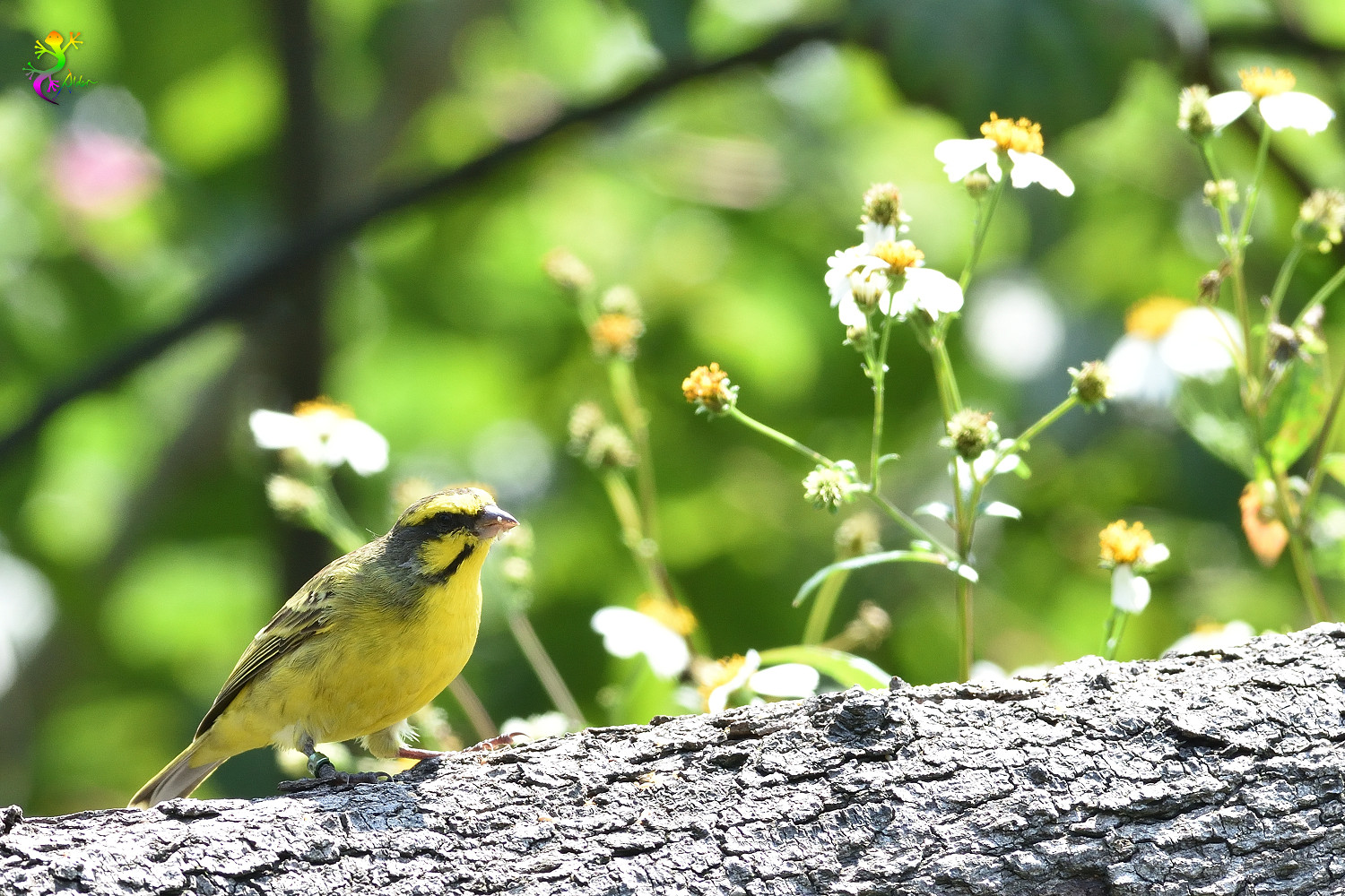 Yellow-fronted_Canary_8303