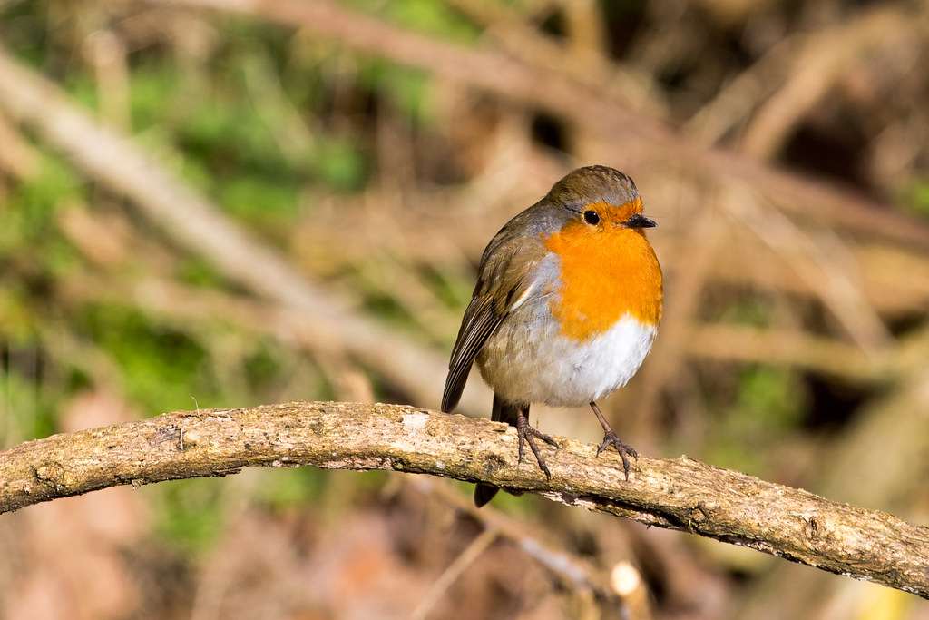 robin - Click to show full size