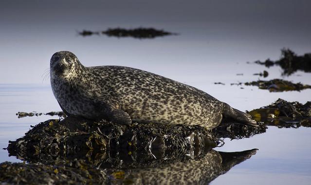 Grey Seal, Isle of Bute