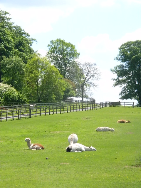 Alpaca on their day off