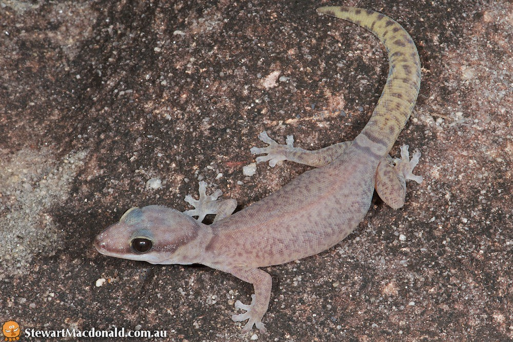 Quinkan velvet gecko (Oedura jowalbinna)