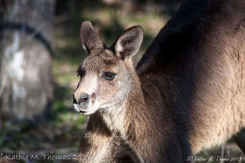 Male Eastern Kangaroo
