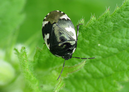 Pied Shieldbug - Sehirus bicolor