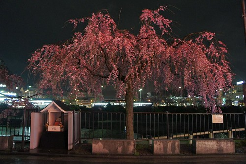Pontocho 先斗町  - Cherry Blossoms By Night