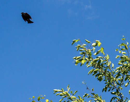 Red-Winged Black Bird in Flight