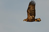 Young Bald Eagle-43911.jpg