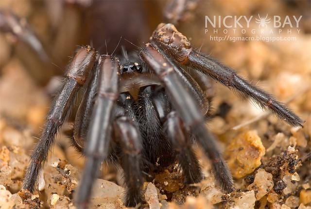 Tube Trapdoor Spider (Nemesiidae) - DSC_6546