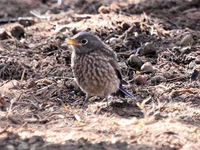 Western Bluebird fledgling 2-20130619