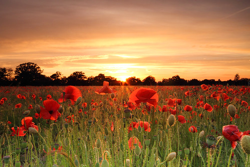 Backlit Poppies, Send, Surrey