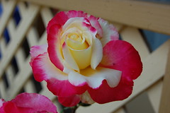 My mom's favorite rose