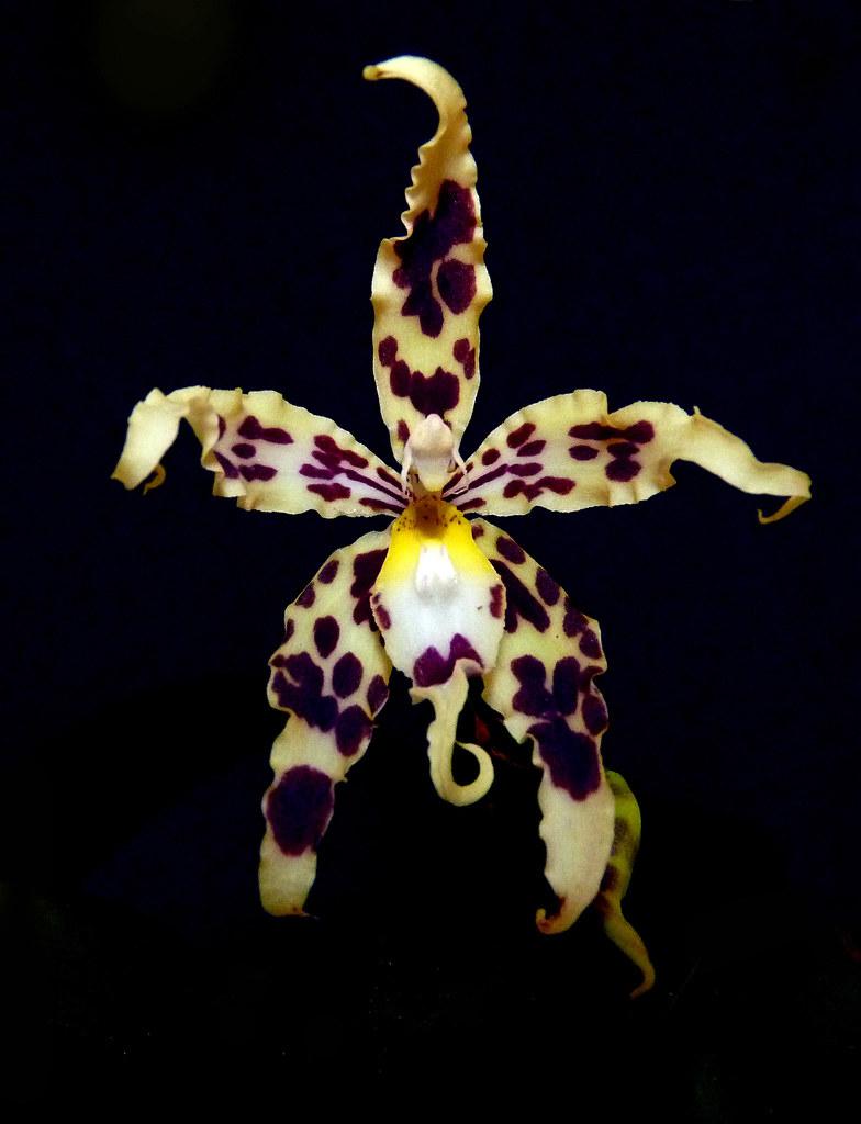 Oncidium (Odontoglossum) gloriosum species orchid