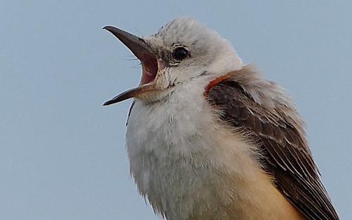 bird immature rare scissortailedflycatcher tyrannusforficatus