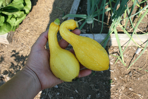yellow squash 003
