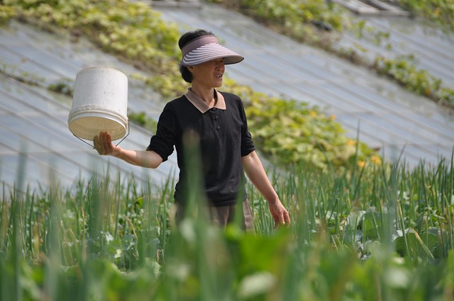 Worker in the field at Chongsanri Cooperative Farm
