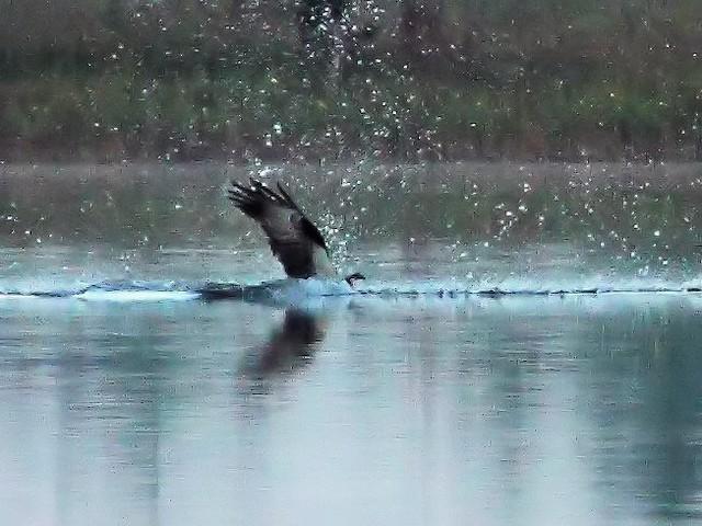 Osprey impact 3-20131020