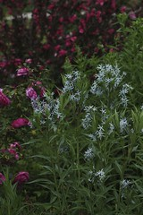 Amsonia illustris, Rosa 'Honorine de Brabant' and Weigela 'Wine and Roses'