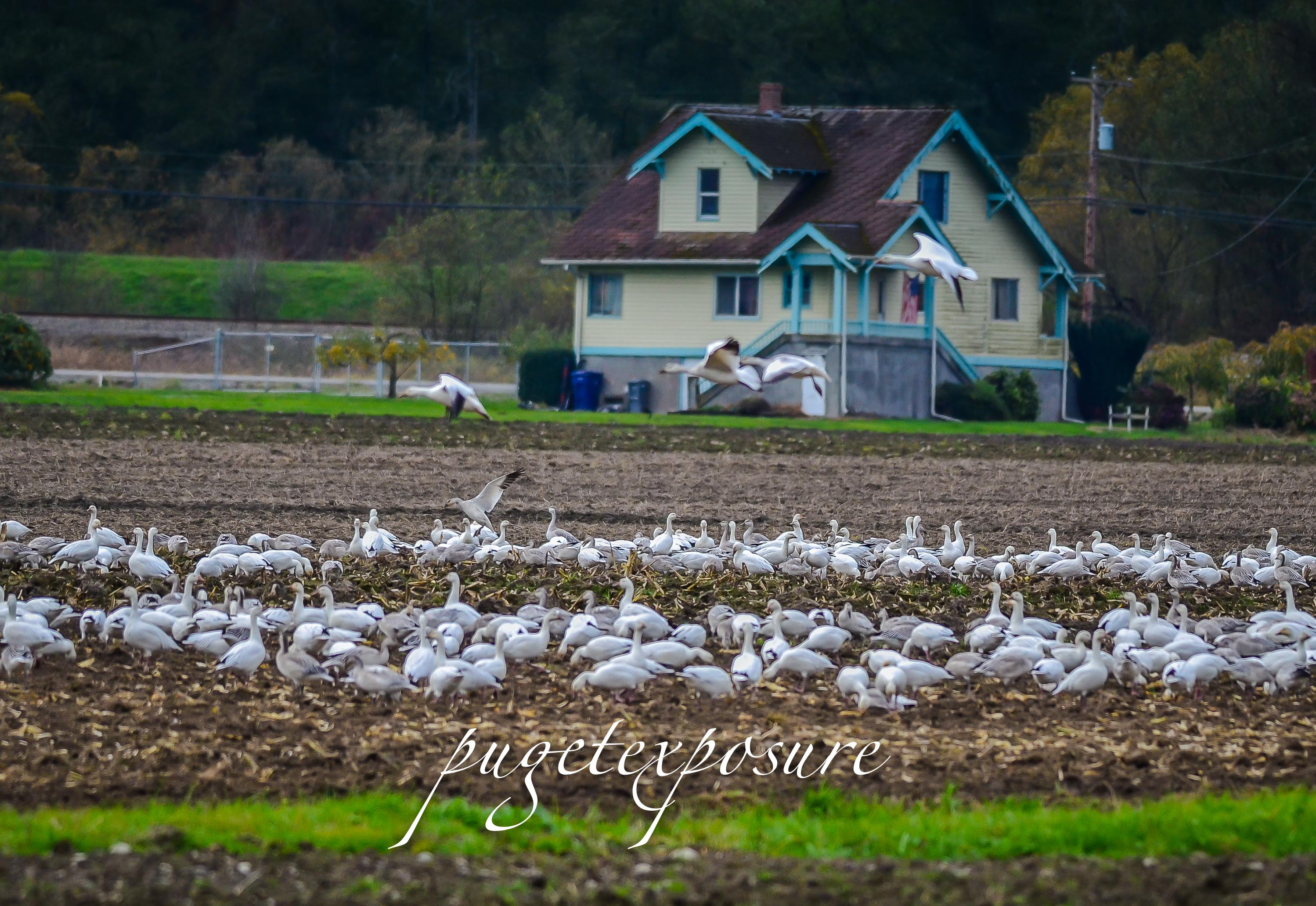 Pioneer Highway Farm house and a large flock of Snow Geese