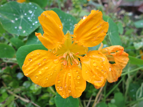 Raindrops on yellow nasturtium