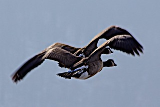 Geese in Synchronized  Flight- Creve Coeur Lake, St. Louis Co.