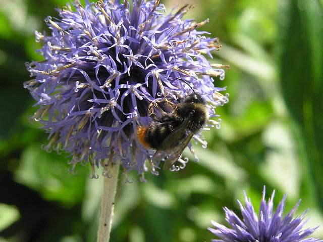 Bumblebee, Bombus lapidarius male