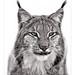 Lynx by guenterleitenbauer