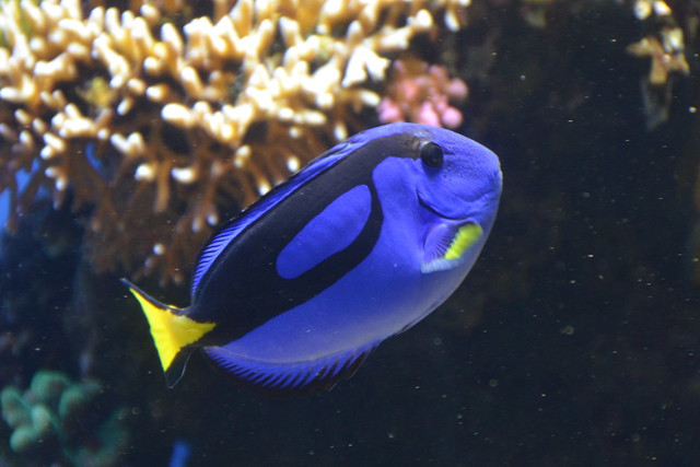 11661044225 2fb3a0b964 for Blue tang fish facts