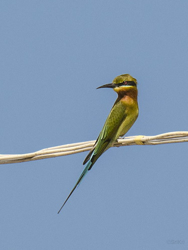 india birds bangalore beeeater ind bluetailedbeeeater