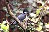 Giant Kingfisher - Megaceryle maxima