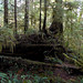 BC rainforest nurse log