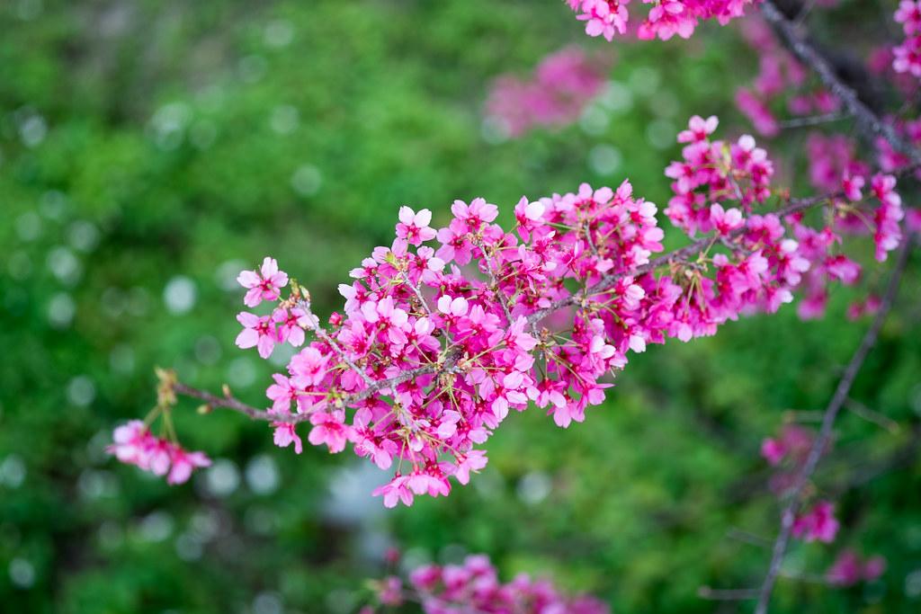 再來幾張櫻花吧!
