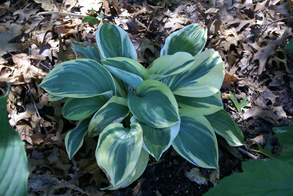 Hosta 'Regal Supreme' (13)-001