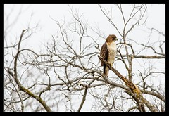 DSC_4240-AG-F - Red-tailed Hawk